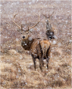 1-sixsmith-m-1-stags-in-snowstorm