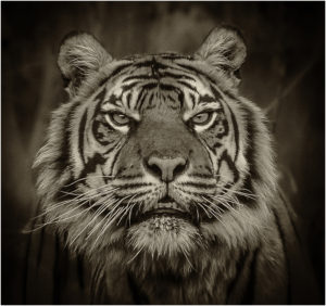 2-higgins-p-2-tiger-portrait