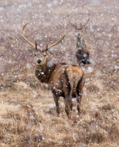 Stags in Snowstorm by Margaret Sixsmith
