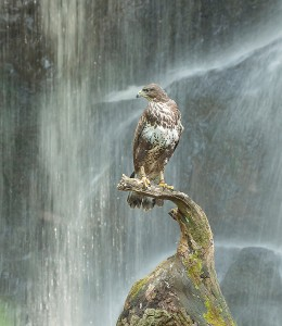 Buzzard and waterfall