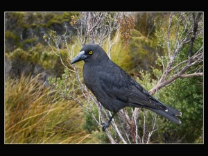 03 Currawong after hailstorm