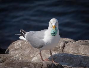 Gull stealing eggs