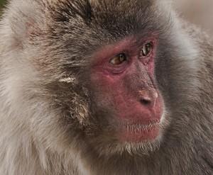 Snow Monkey2