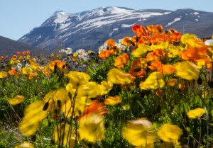 Wind in icelandic poppies