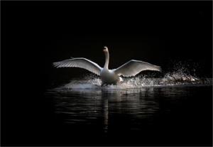 Mute swan landing by Pete LarkinHonourable Mention
