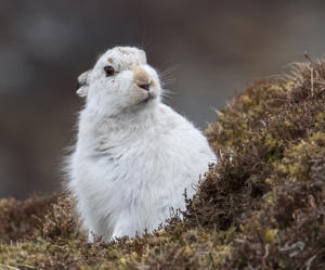 Mountain Hare by Margaret Sixsmith - 9 points