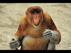 Proboscis monkey, Borneo-001