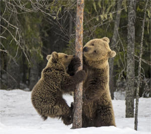 Brown Bears and Tree by Brian Magor- 12 points - Honourable Mention